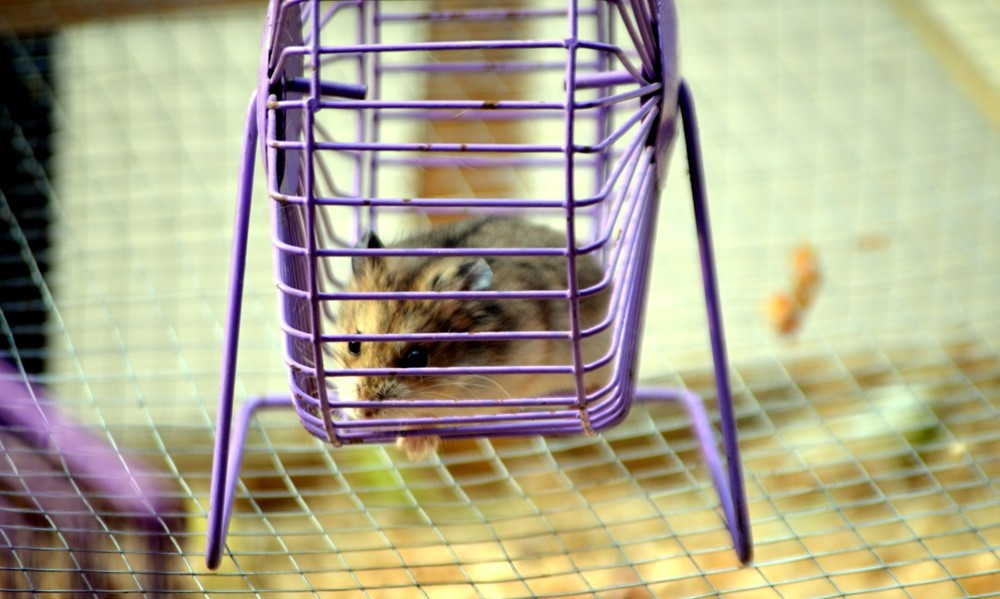 hamster running on a wheel